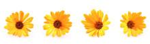 Beautiful Blossoming Yellow Ma...
