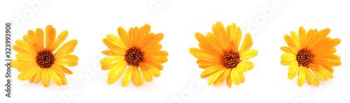 Obraz Beautiful Blossoming Yellow Marigold On White Background. Calendula Officinalis - fototapety do salonu
