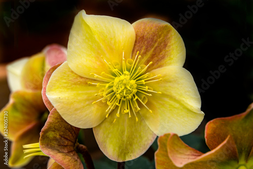 Yellow Pink Hellebore Blooming Macro