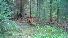 Red Fox Sniffing Around On A Forest Glade And Marking Territory