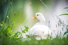 Domestic Young Goose Resting O...