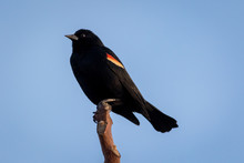 Red Winged Blackbird, Agelaius Phoeniceus, Perched, Blue Sky