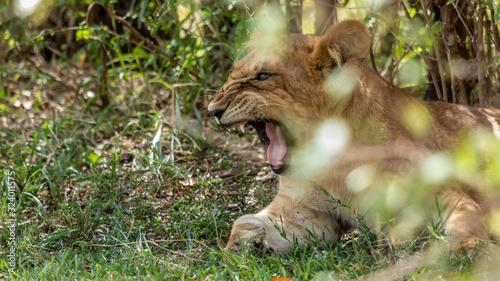 Fototapety, obrazy: Lions - Masaï Mara Kenya
