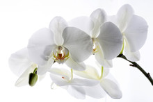 White Orchid Flowers Close-up ...