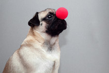 Pug Dog Holding A Red Clown No...