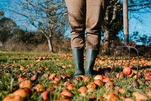 Faceless Farmer With Pitchfork Harvesting Fallen Mature And Rotten Apples On Green Lawn In Garden