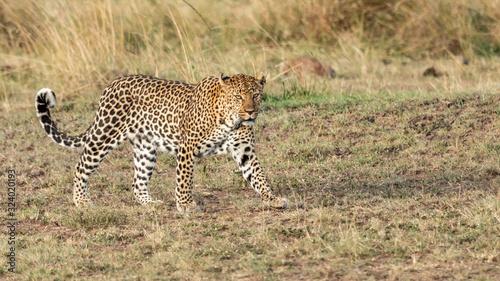 Fototapety, obrazy: Léopard - Masaï Mara Kenya