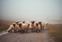 Herd Of Valais Blacknose Sheep...