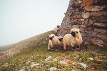 Group Of Long Wool Sheep In Al...