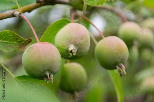 Photo Green apples on a tree with green blurred garden as a background.