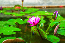 Pink Lotus Blooming On Water Background With Leaves And It's Bud.