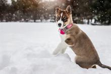 Husky Blue Eyed Puppy Dog Play...