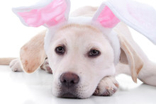 Adorable Easter Bunny Pet Pupp...