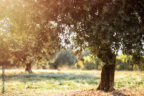 Landscape with old olive trees in sunny summer morning in Provence, France Canvas Print