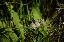 Mariposa Amarilla Y Negra En El Pasto