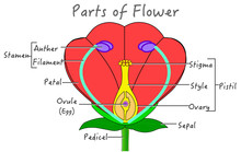 Flower Parts Diagram.  Explanations. Red, Green Yellow Purple Flowers Components Structure. Plant Pollination Reproduction System Anatomy Flowering Plants. Biology Botanical Illustration School Vector