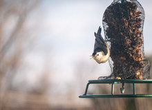 Bird (white-breasted Nuthatch)...