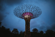 Low Angle View Of Futuristic Supertree Grove At Gardens By The Bay In Singapore In The Evening.,Singapore