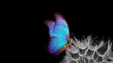Bright Blue Morpho Butterfly On Dandelion Seeds Isolated On Black. Close Up. Copy Space