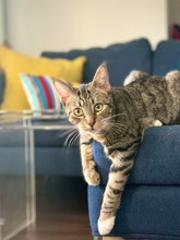 Tabby Cat Posed On Modern Sofa