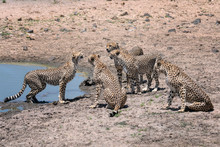 Four Male Cheetah Surround A Single Female In The Hopes Of Her Choosing One Of Them As Her Mate. Image Taken In The Masai Mara, Kenya.