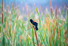 Red Winged Blackbirds Singing In The Reeds At Orlando Wetlands In Florida.