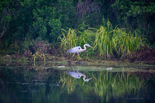 Great Blue Heron Fishing In Wetlands In Orlando Florida.