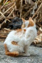 Portrait Of White Kitten With Orange Spot, Close Up Thai Cat