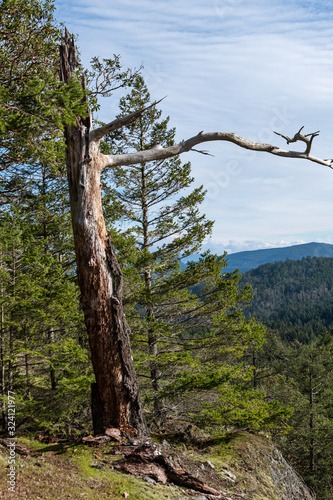 close up of  a dead arbutus tree trunk on the edge of the cliff surrounded by pi Canvas Print