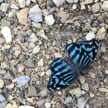 Blue And Black Butterfly On Rocks