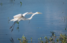 Great White Egret Flying Over Lake In Orlando Wetlands Near Cape Canaveral.