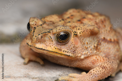 Photo Golden eyes of Duttaphrynus melanostrictus, Indian