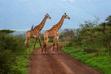 Two Giraffe Roaming In The Wild And Free