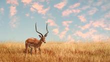 Lonely Antelope (Eudorcas Thom...