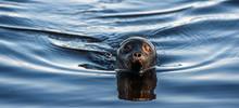 The Ladoga Ringed Seal Swimming In The Water. Scientific Name: Pusa Hispida Ladogensis. The Ladoga Seal In A Natural Habitat. Summer Season. Ladoga Lake. Russia