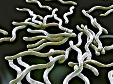 3d Illustration - Borrelia Burgdorferi Bacteria