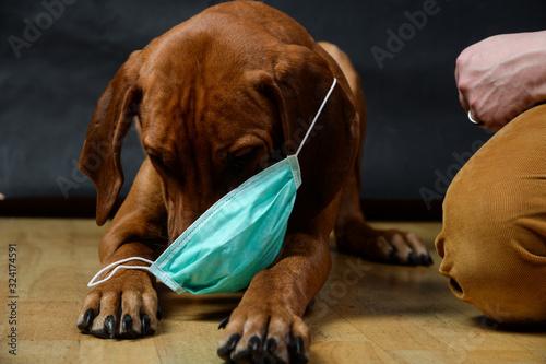 Fototapeta Rhodesian Ridgeback Welpe spilet niedlich witzig mit Atemschutzmaske vor Coronavirus Corona Grippe  Schutz obraz