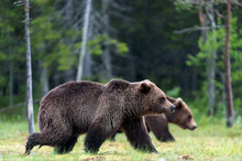 Brown Bears Walking On The Swamp In The Summer Forest. Scientific Name: Ursus Arctos. Natural Habitat.