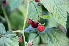 Red Raspberry Berries Ripening...