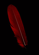 Single Red Feather Isolated On...