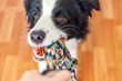 Funny portrait of cute smilling puppy dog border collie holding colourful rope toy in mouth. New lovely member of family little dog at home playing with owner. Pet care and animals concept.