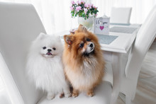Two Pomeranian Spitz Dogs Sitting On A Chair By The Kitchen Table