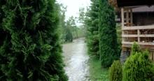Cypress Thuja Tree With Rain B...