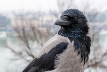 Crow In Winter