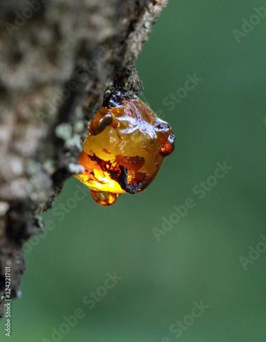 Obraz na plátně Natural gum on a branch of apricot tree