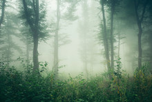 Green Summer Woods, Misty Fore...