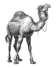 Dromedary (Camelus Dromedarius) / Vintage Illustration From Brockhaus Konversations-Lexikon 1908