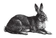 Rabbit / Vintage Illustration From Brockhaus Konversations-Lexikon 1908