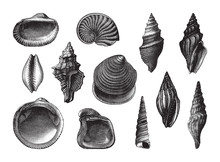 Shell Fossil Collection (Oligo...