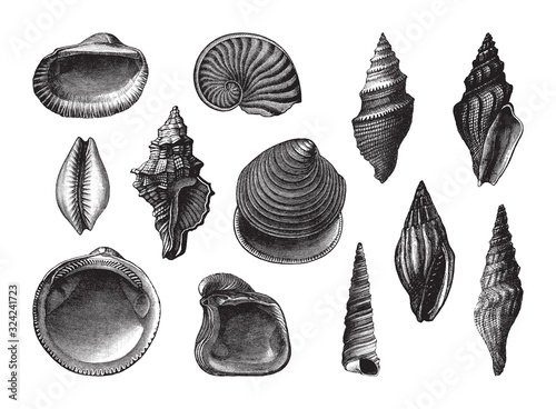 Shell fossil collection (Oligocene period) / vintage illustration from Brockhaus Konversations-Lexikon 1908